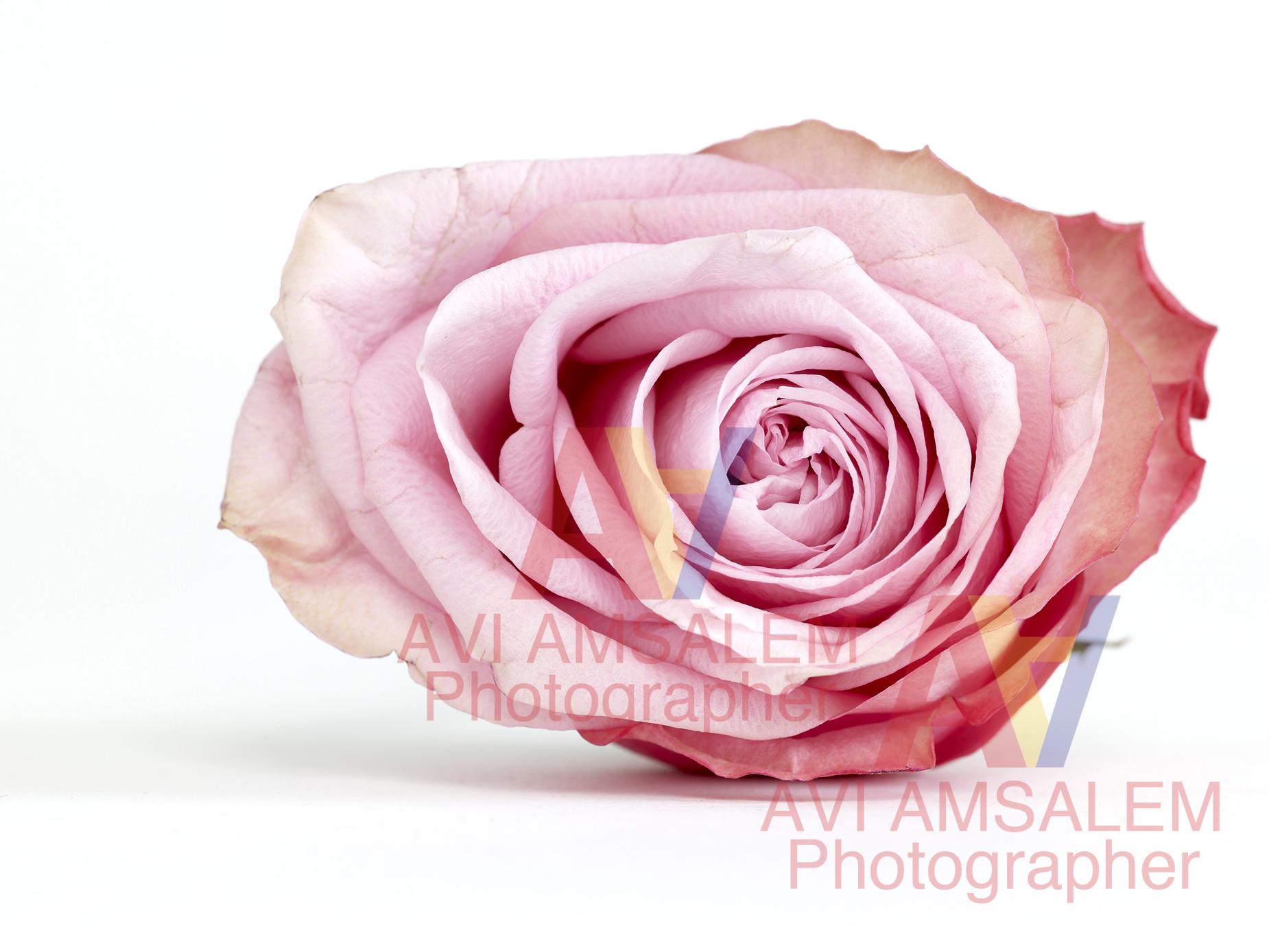 צילום פרחים.1