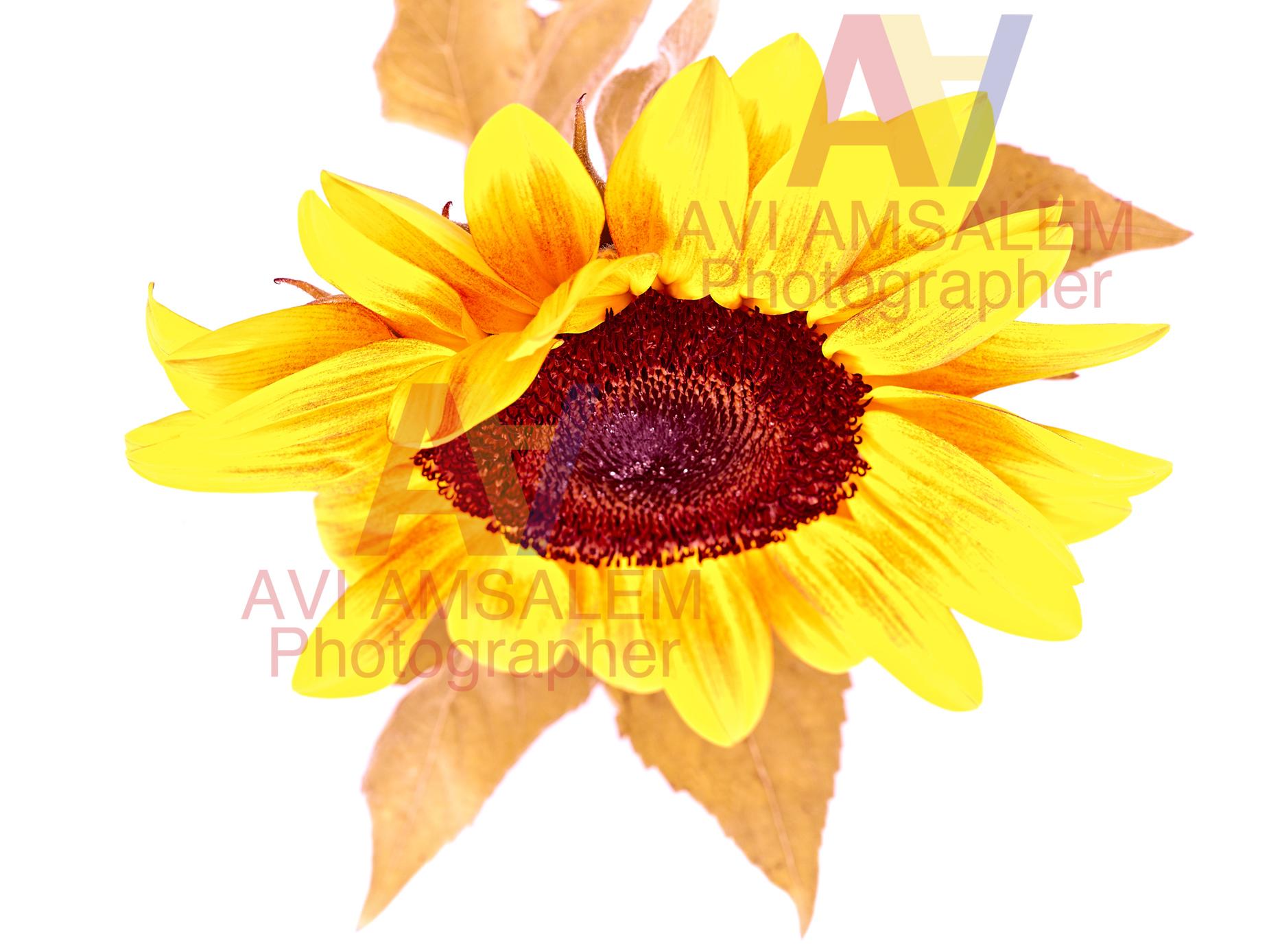 צילום פרחים.2