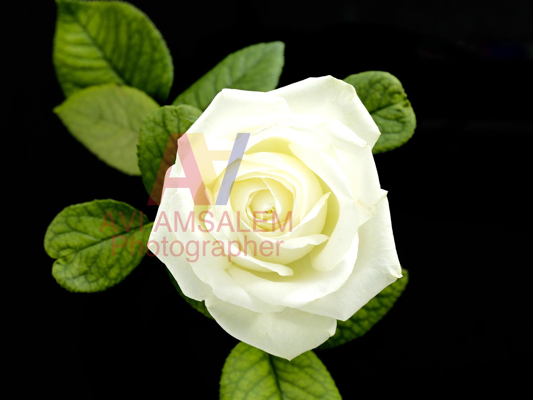 צילום פרחים.4