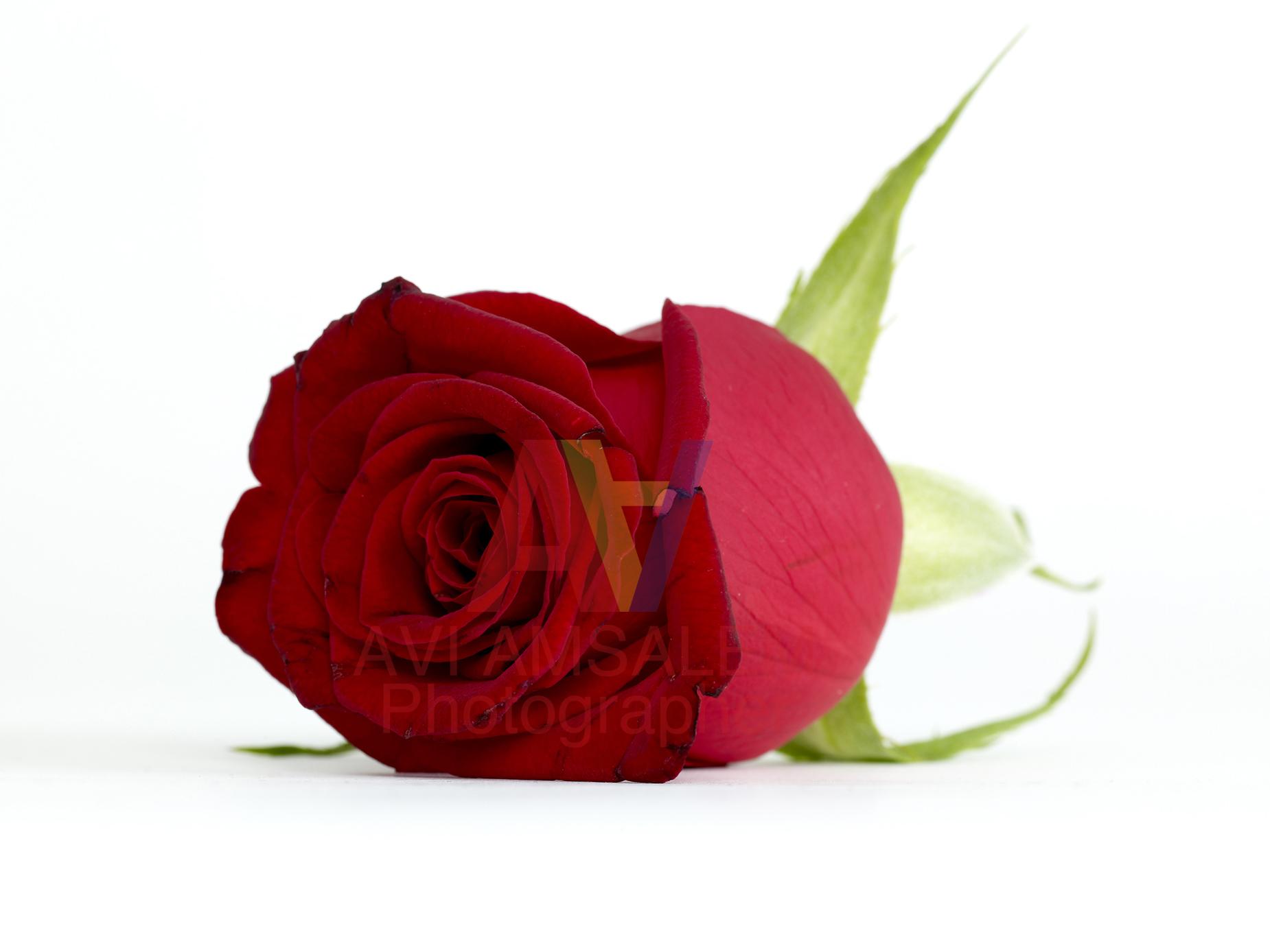 צילום פרחים.5
