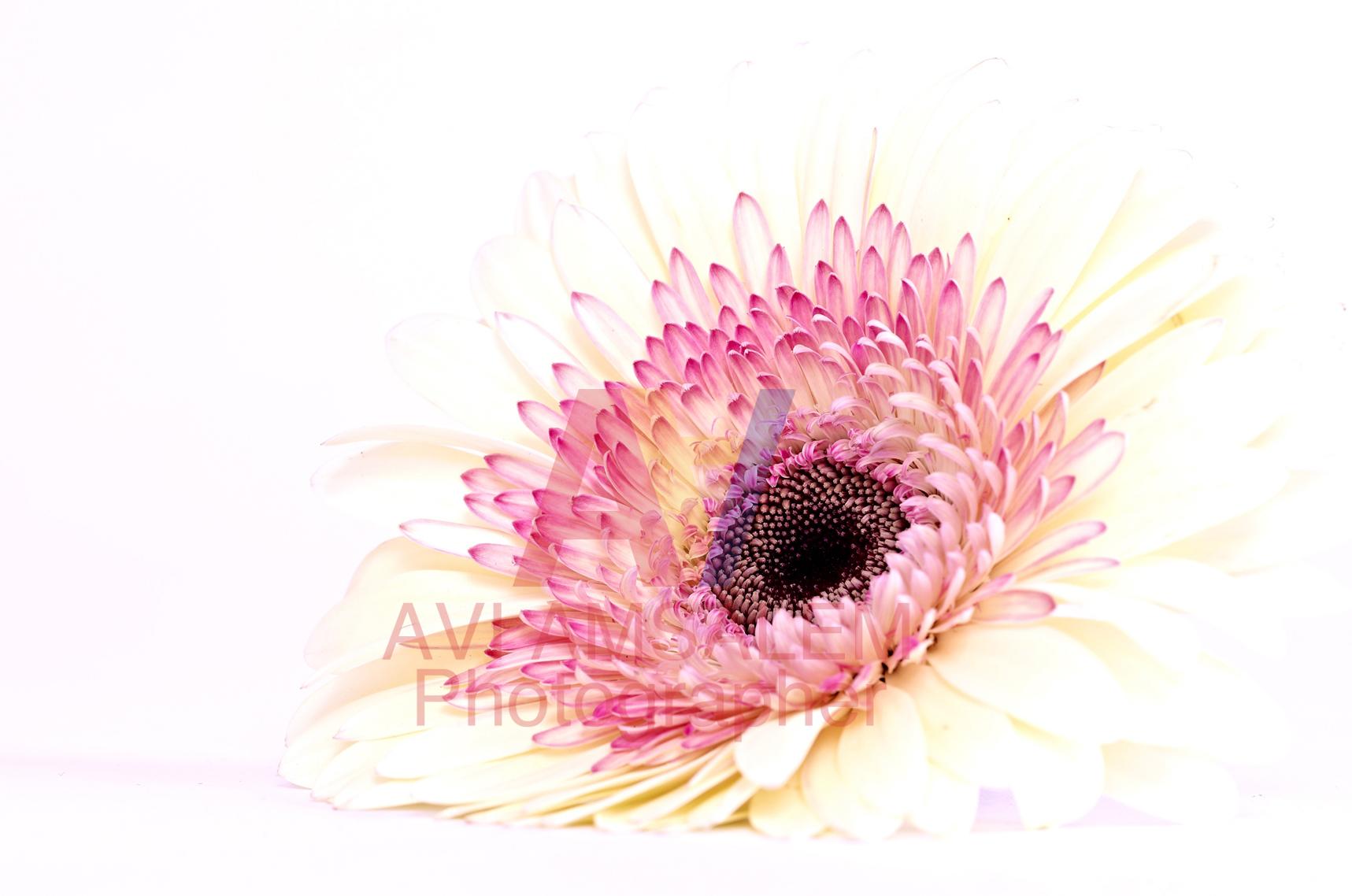 צילום פרחים.7